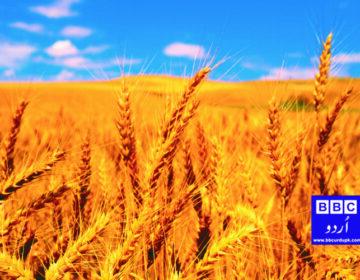 پاکستان میں گندم کا ریٹ 1800 فی من مقرر، کسان خوش، شہری پریشان۔